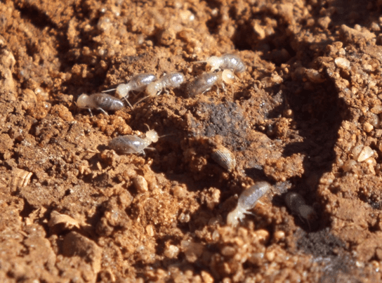 Termites & Flying Ants | Everything You Need To Know
