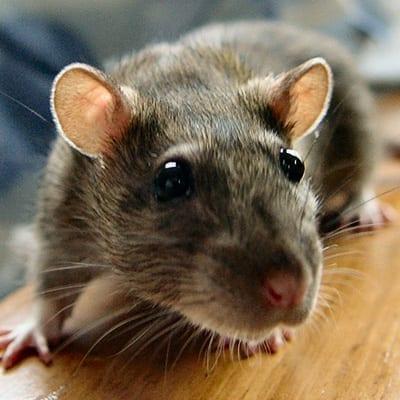Rodents | Flick Pest Control