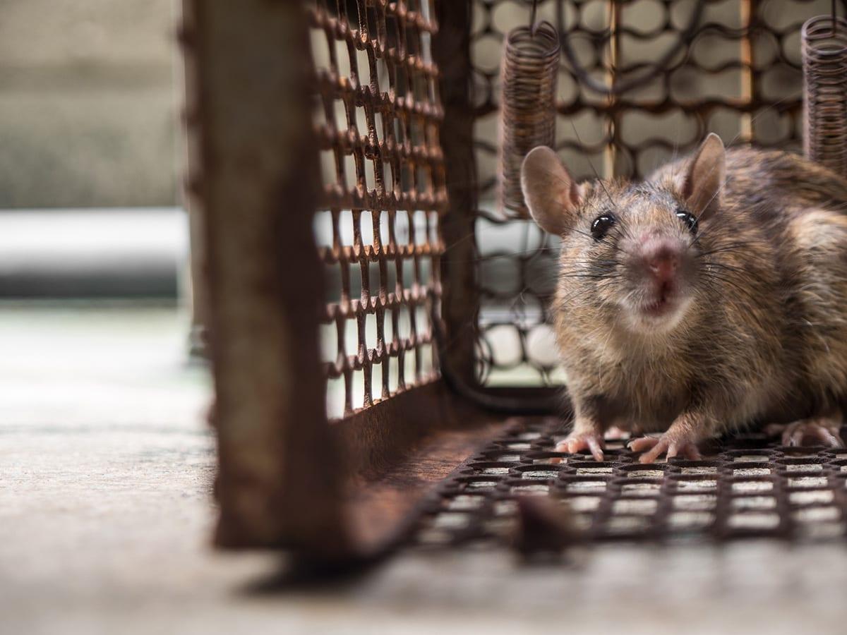 Flick Pest_THE DANGER OF RAT INFESTATIONS IN WINTER